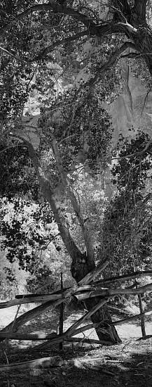 Lois Conner, Cottonwoods, Canyon de Chelley, Arizona 1990, Platinum print