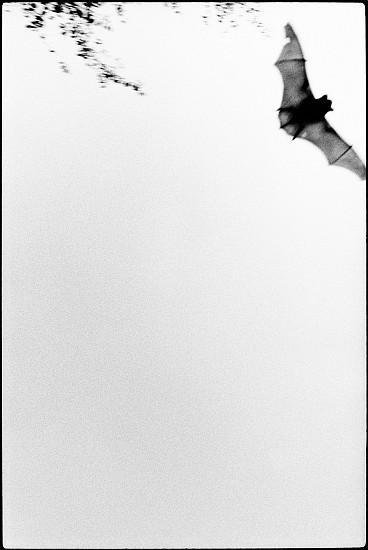 Machiel Botman, Bat 2009, Gelatin silver print